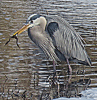 Heron-eating-Rensselaer-Falls.png