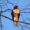Heuvelton-hawk.png