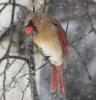 Heuvelton-storm-cardinal.png
