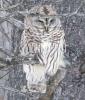 Lawrenceville-owl.png