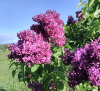 Lilac-tour-photo-Moore's-Hill-WS.png