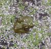 Lisbon frog.png