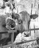 Lisbon-cow.png