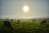 Lisbon-cows.png
