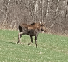 Loose-moose-DeKalb-Junction.png