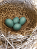Louisville-robins-eggs.png