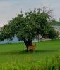 Massena-Deer-in-Yard.png