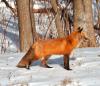 Massena-Fox-Hunt.png