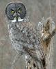 Massena-owl.png