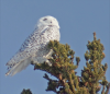 Massena-snowy-owl.png