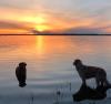 Massena-water-dogs.png