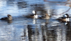 Mergansers-Oswegatchie.png
