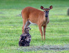 Morristown-Eagle-Deer.png
