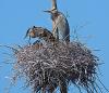 Morristown-heron-rookery.png
