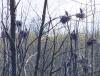 Morristown-herons.png