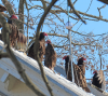 Morristown-vultures.png