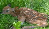 Moses-Park-fawn.png