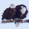 Nesting-eagles-Waddington.png