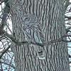 Norfolk-barred-owl.png