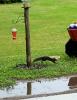 Norfolk-black-squirrel.png