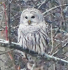Norfolk-owl.png