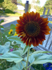 Norfolk-sunflower.png