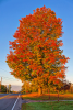 Norfolk-tree-Straight.png