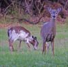 Norwood-deer.png
