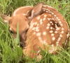 Norwood-fawn.png