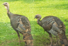 Norwood-turkeys.png