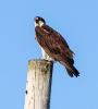 Ogdensburg-Osprey.png