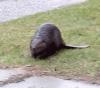 Ogdensburg-beaver.png