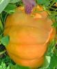 Ogdensburg-pumpkin.png