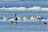 Ogdensburg-swans-geese.png