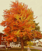 Orange-tree-Norwood.png