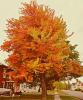 Orange-tree-Norwood.png