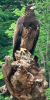 Oxbox-Eagle-Perched.png
