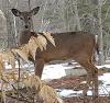 Parishville-deer.png
