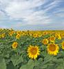 Parishville-sunflowers.png