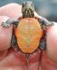Pierrepont-turtle.png