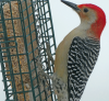 Pierrepont-woodpecker.png