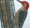 Pierrepont-woodpecker.png