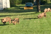 Pigs-loose-in-Potsdam.png