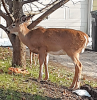 Potsdam-apple-deer.png