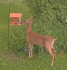 Potsdam-deer.png