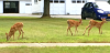 Potsdam-fawns.png