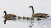 Potsdam-goslings-A.png