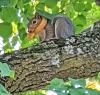Potsdam-onion-squirrel-1.png
