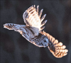 Potsdam-owl-williams.png