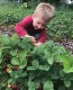 Potsdam-strawberry-picking-1.png